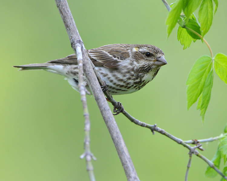 Purple Finch 04