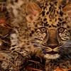 Amur Leopard Cub. 3D Ranch. Columbia Falls, Montana.