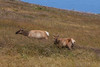 Male and Female Elk on the Move Uphill