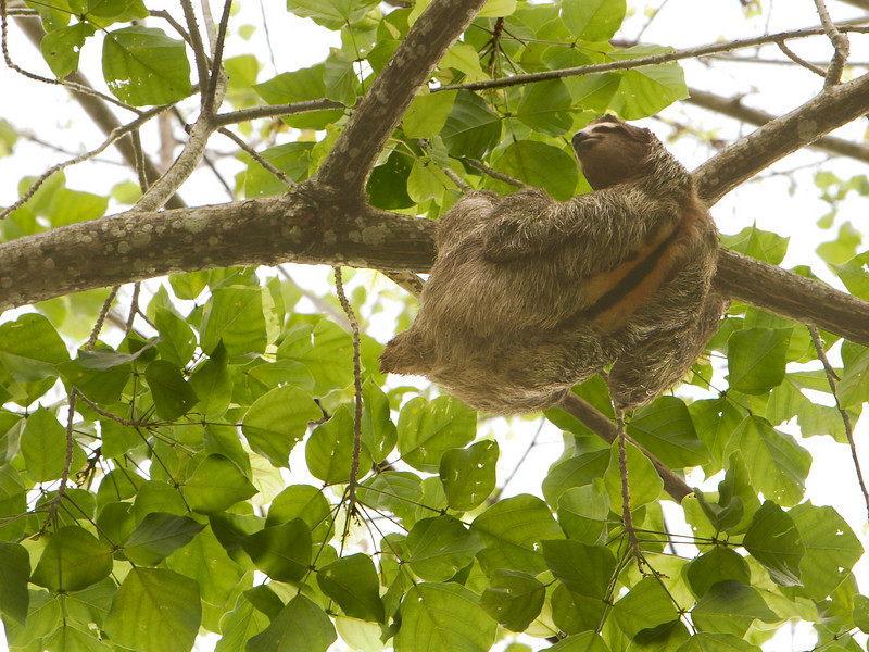 A wild brown-throated three-toed sloth (bradypus variegatus) is climbing along a branch high up in the jungle canopy of Costa Rica. With the large stripe on its back, this is an adult male.