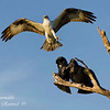 Osprey defending her nest against a pair of Black Vultures.  Everglades National Park, South Florida.