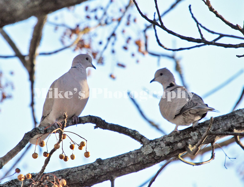 two turttle doves