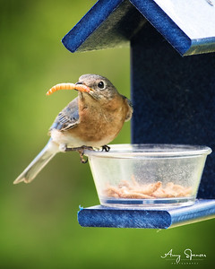 Female Bluebird with large meal worm