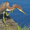 Reddish Heron.  Everglades, South Florida.