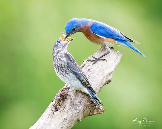 Daddy Bluebird feeding one of his six babies