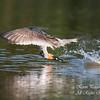 Black Skimmer. Everglades National Park, South Florida.