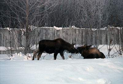 In our backyard in Anchorage.