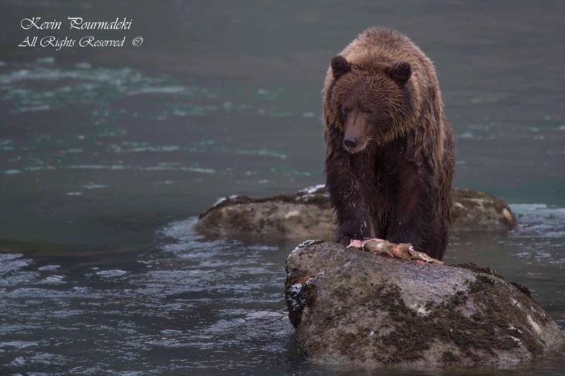 Grizzly Bear.  Haines Alaska.