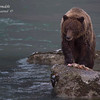 Grizzly Bear.  Haines Alaska.