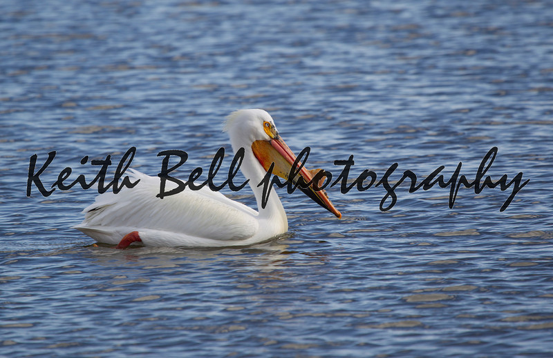 An American White Pelican up close.