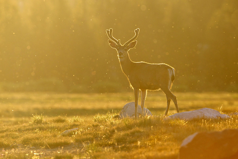 Deer with mosquitos in Tuolumne Meadows, Yosemite during sunset