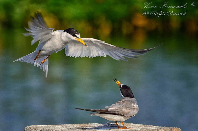 Least Terns. Everglades Park, South Florida