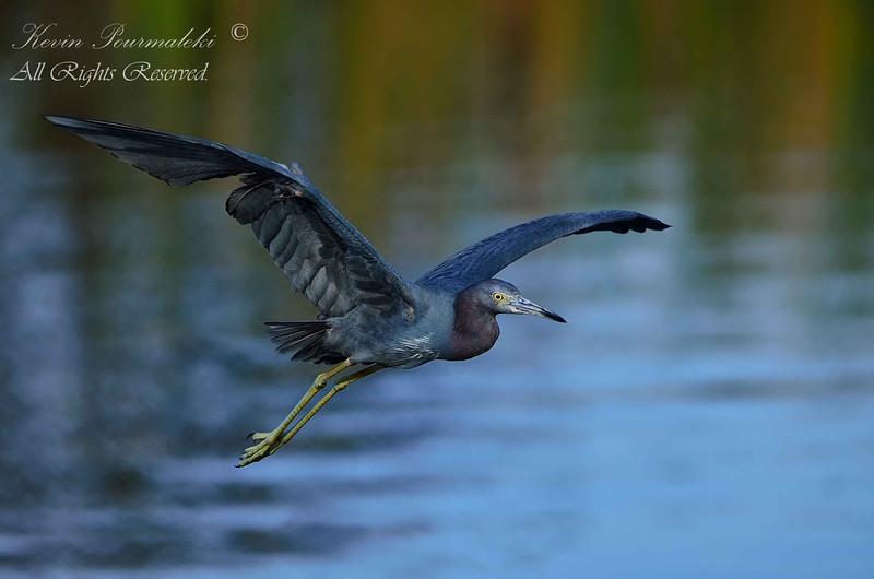 Little Blue Heron.  South Florida.