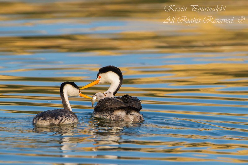 Clark Grebes feeding the chicks.