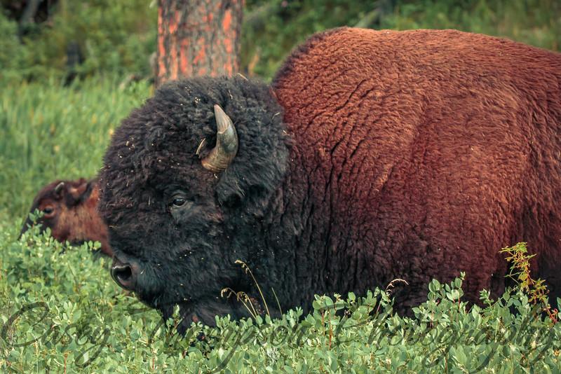 Buffalo Herd Bull-6921