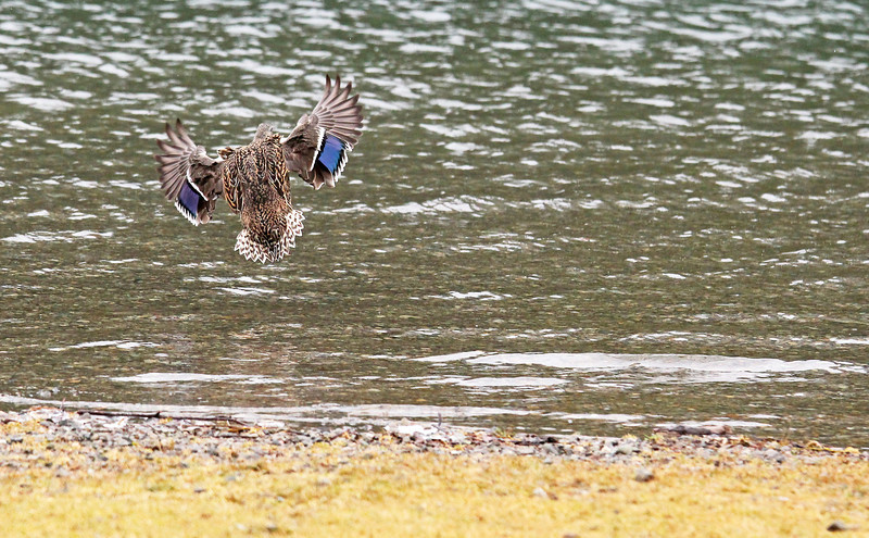 Coming in for a landing.