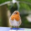 My first Robin