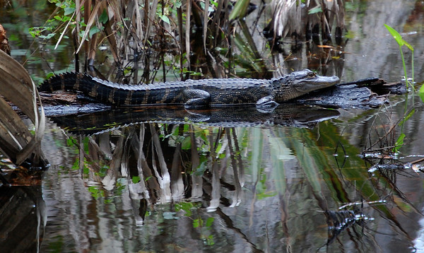 Pictures can be everywhere & I found this one while biking through the woods. I like this photo because it conveys the alligators quiet power.