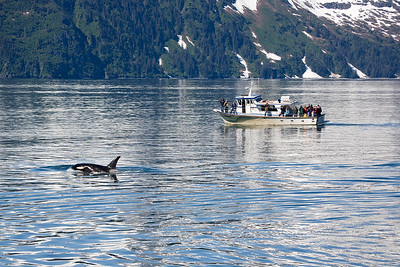 Killer Whale Watching in Alaska