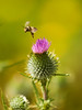 A honey bee is launching into flight after taking the nectar from a thistle flower.