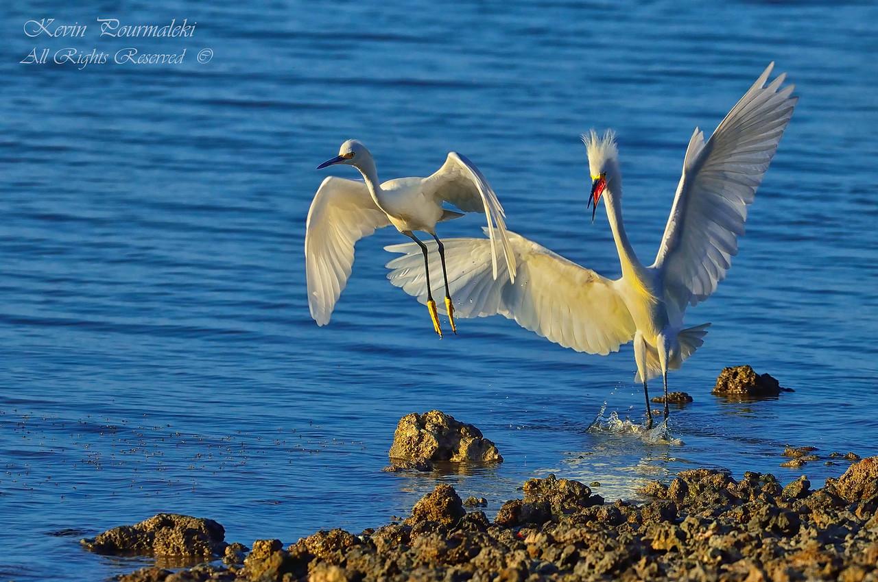 Snow Egrets.  Everglades National Park, South Florida.