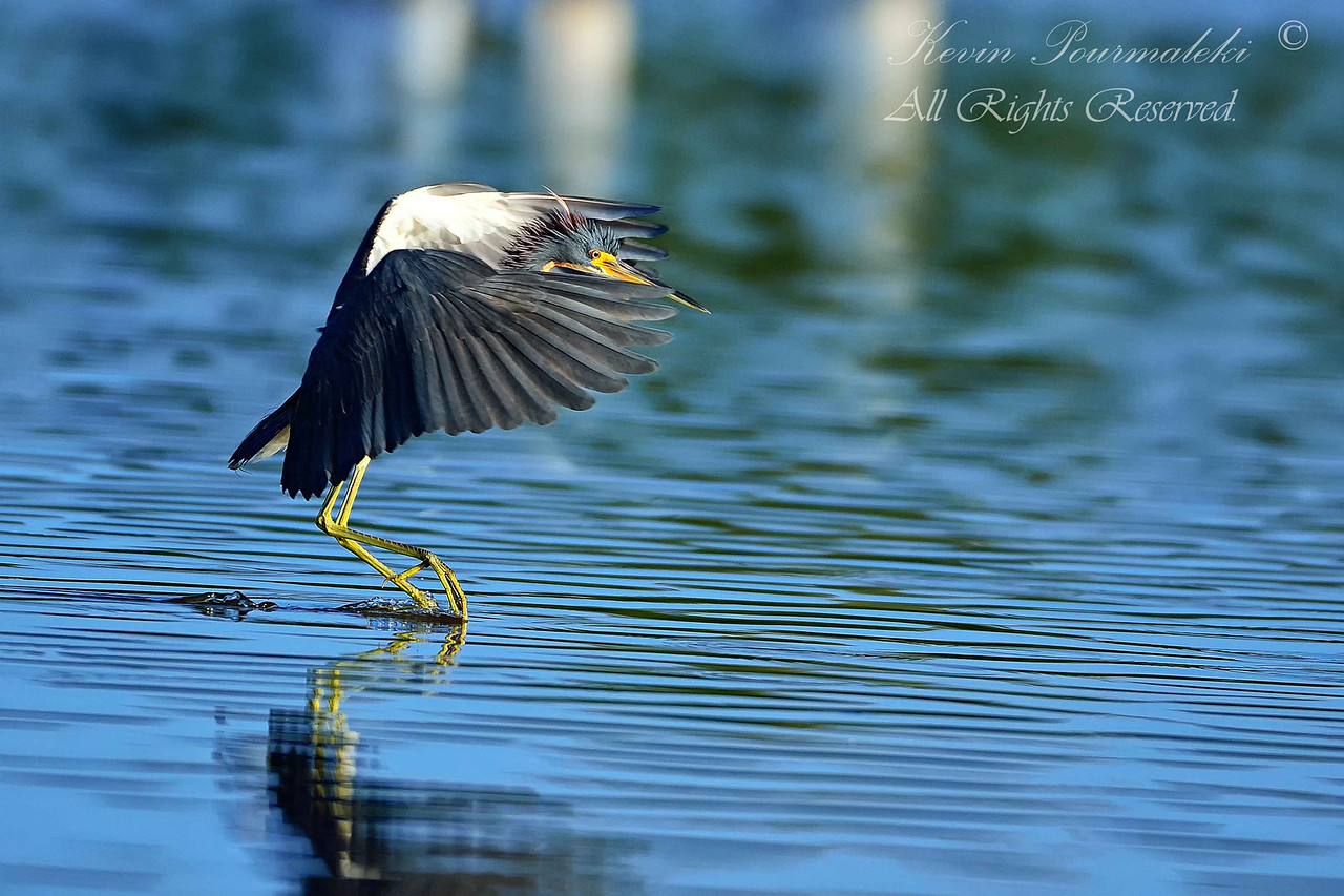 Tri Color Heron.  Everglades National Park.