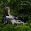 Anhinga feeding the chick.  South Florida.