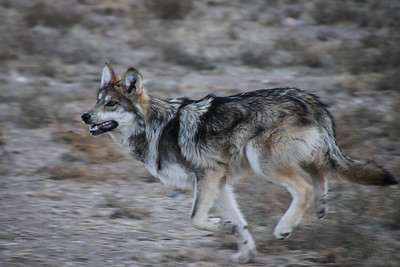 New Mexican Gray Wolf