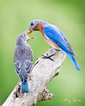Daddy Bluebird feeding one of six babies