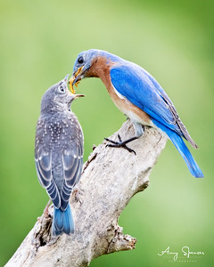 Daddy Bluebird feeding one of six babies