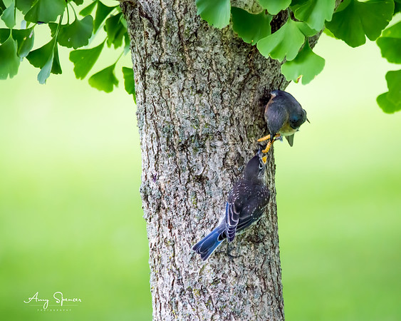 Mother Bluebird feeding one of her 5 babies.
