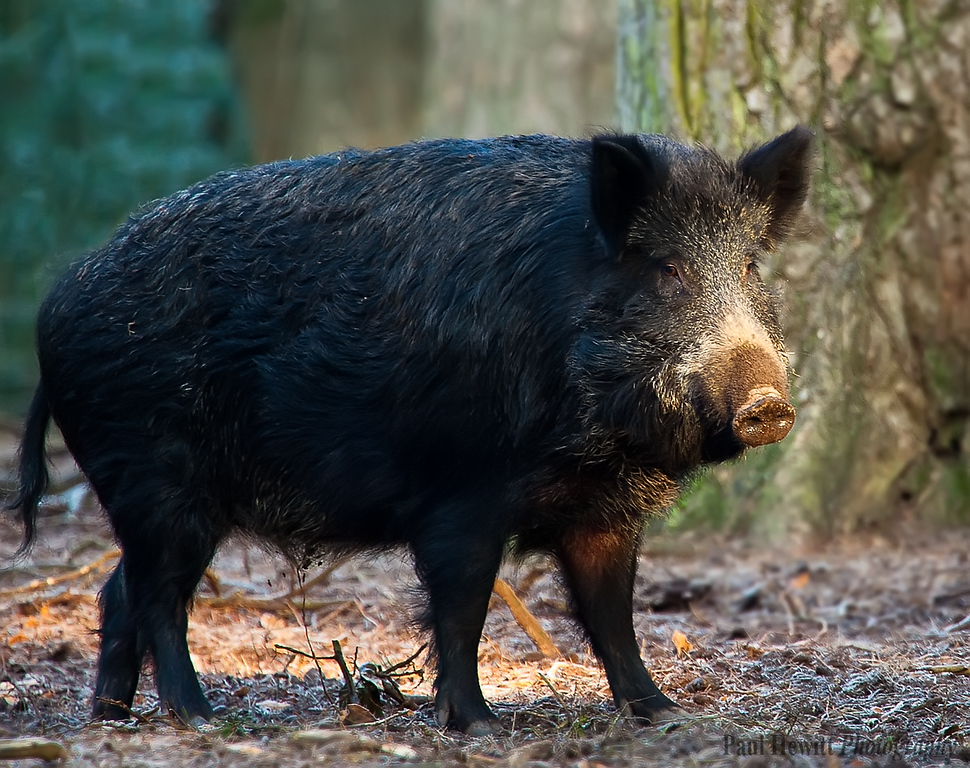 New Forest Boar 2