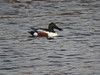 Norther Shoveler