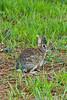Wild Rabbit, Beaufort County, North Carolina
