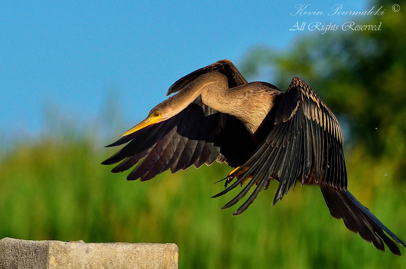 Anhinga, Everglades Park, South Florida.