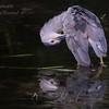Night Heron, South Florida.
