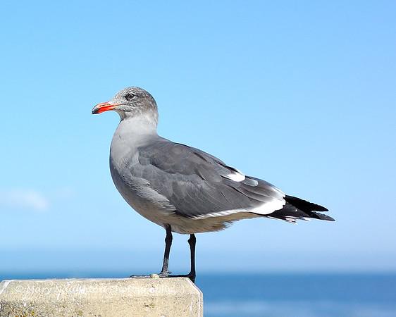 Young Gull, San Carlos Beach, Monterey, CA