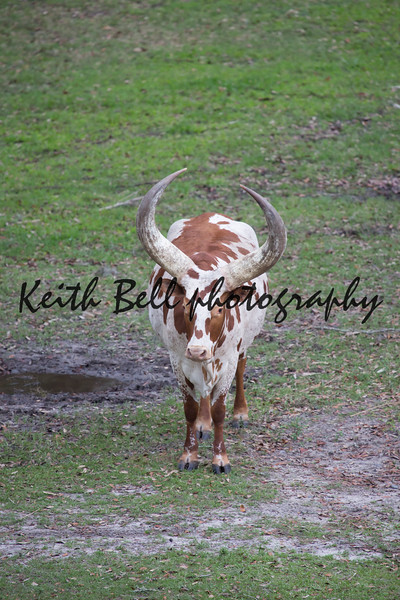 Ankole - Watusi cattle brown and white