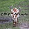 Ankole - Watusi cattle brown and white