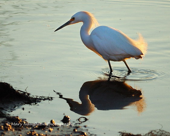 Little egret reflection, Savannah NWR, SC