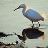 Little egret reflection, Savannah NWR, SC