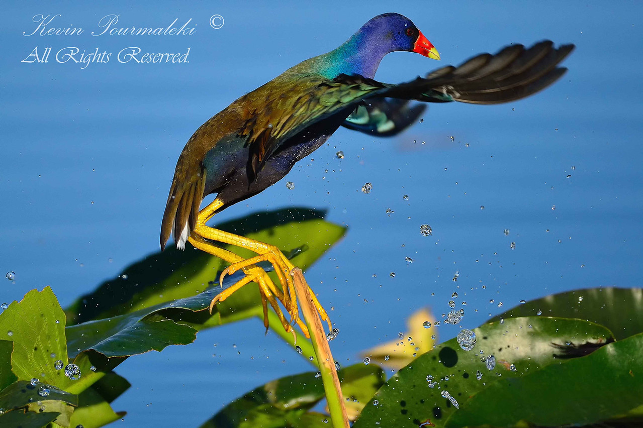 Purple Gallinule.  Everglades Park.  South Florida.