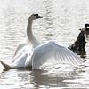 Swan stretch 03