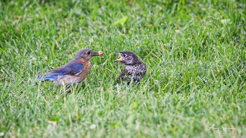 Mother bluebird feeding one of her babies