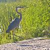 Blue Heron, SNWR, SC