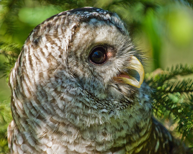 Rescued Barred Owl - flightless due to injury