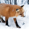 Foxes use big ears to find  lemmings under snow.
