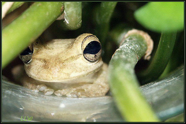 This frog lived in our window sill on the inside for three months.
