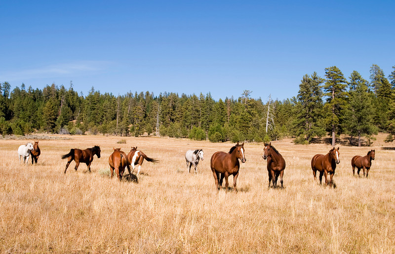 A herd of wild horses in a grass meadow in Central Oregon. These horses are on Forest Service land.