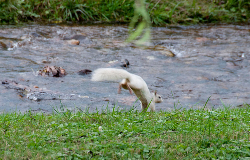 I had heard stories about the white squirrels in Brevard N.C., and after a few attempts, finally caught a few photos.